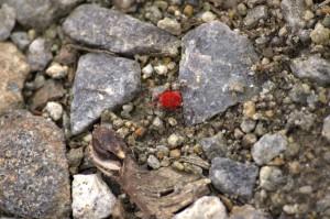 Červený brouk